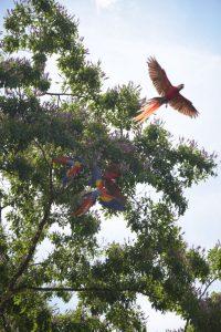 Aras Papageien Drake Bay Costa Rica