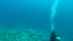 Tauchen, Bullenhai, Blue Lagoon Resort, Nacula Island, Fiji, Südsee