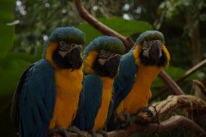 Aras, Parque das Aves, Brasilien