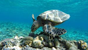 Schildkröte, Green turtle, Gili Meno, Lombok, Bali, Indonesien, Indonesia