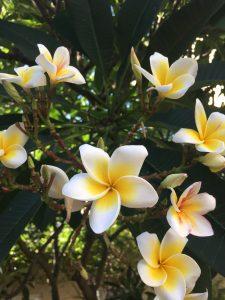 Frangipani, Blumen, Mui Ne, Vietnam