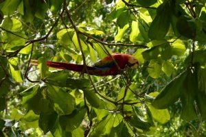 Ara Papagei Drake Bay Costa Rica