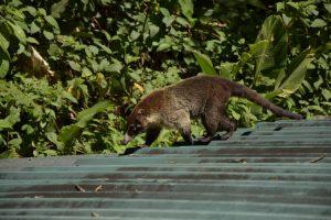 Nasenbären Coati Monteverde