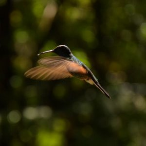 Makroaufnahme Kolibri Hummingbird Monteverde