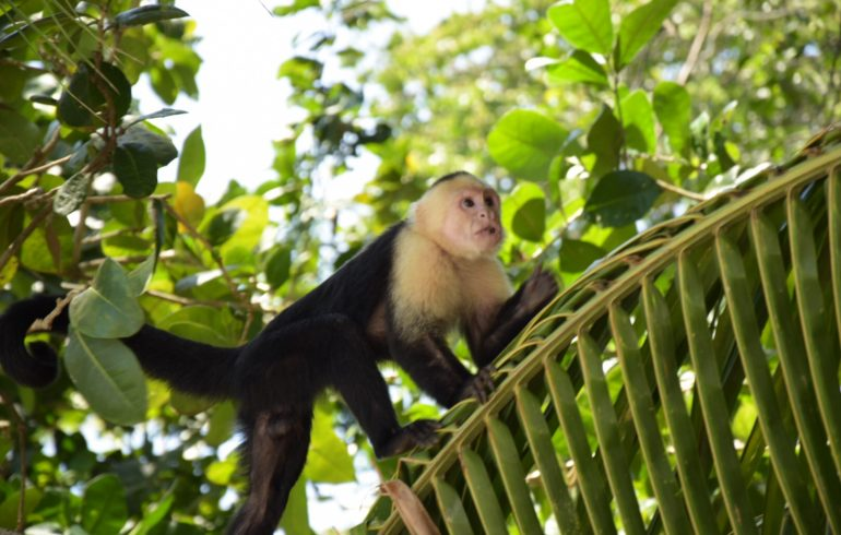 Manuel Antonio Nationalpark Affe Monkey
