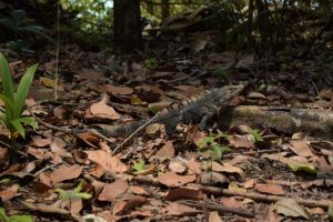 Manuel Antonio Nationalpark Leguan