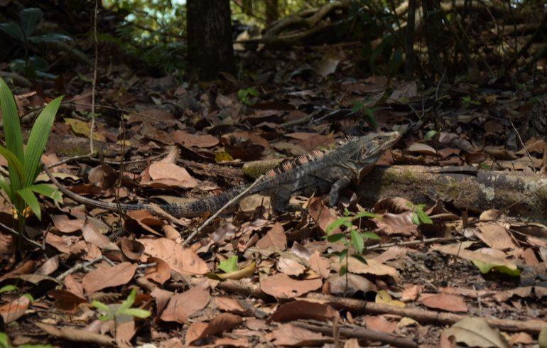 Manuel Antonio Nationalpark Leguan
